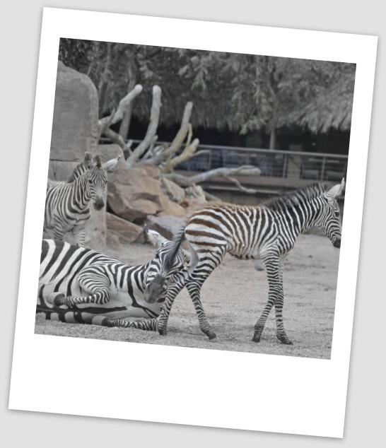 3-cría-de-cebra-nacida-en-BIOPARC-Valencia-este-año-agosto-2016-8.jpg