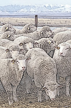 245px-Flock_of_sheep.jpg
